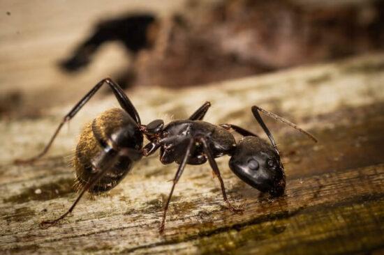 An ant eating borax ant killer