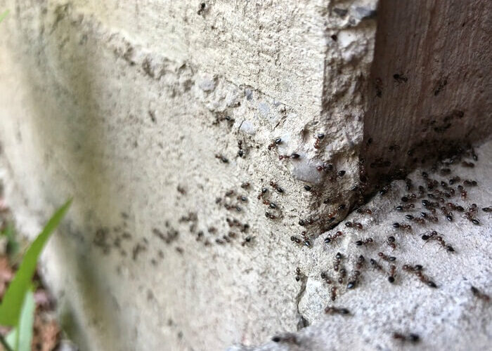 Ants going inside a wall