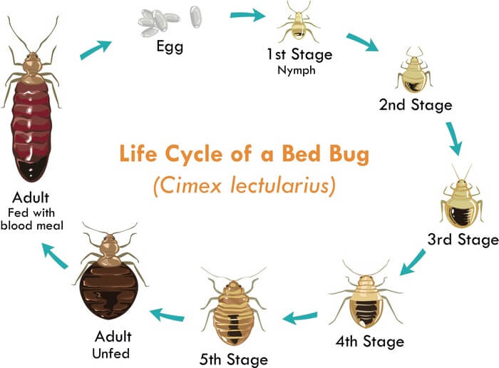 Bed bug size throughout its life cycle