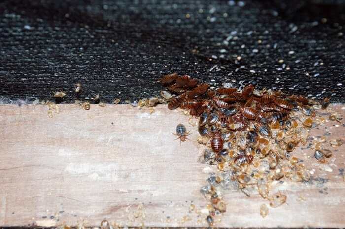 A large amount of bed bugs that transferred from another home