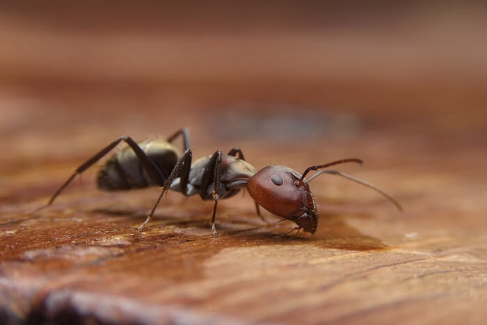 One black ant scout walking into a bedroom