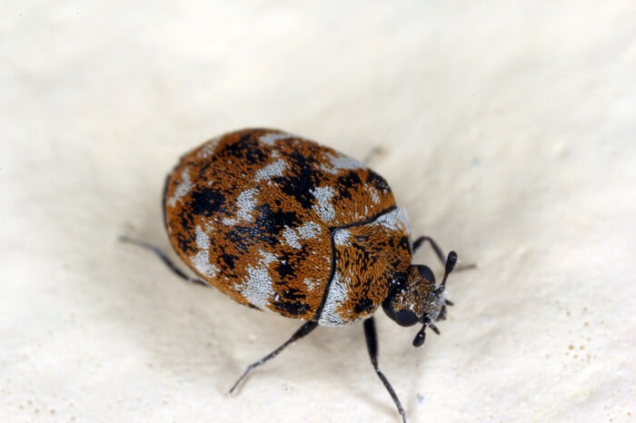 One carpet beetle standing on a piece of fabric