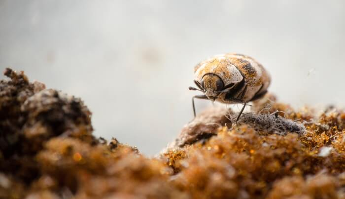 A walking carpet beetle that needs to be gotten rid of
