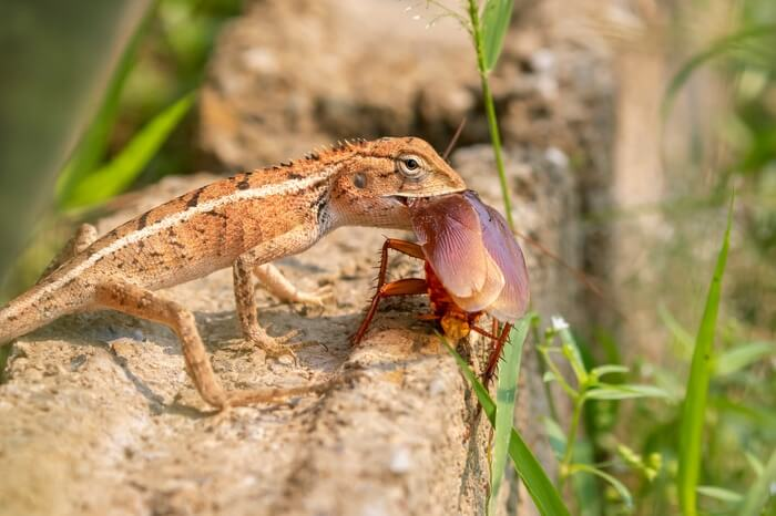A male chameleon eating a cockroach