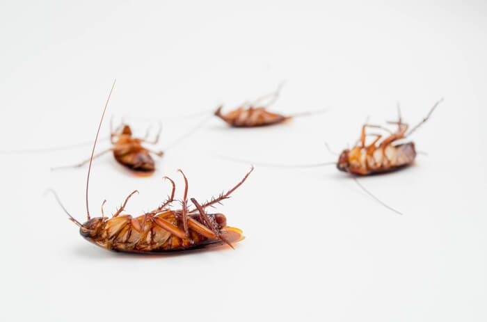 Cockroaches after being killed with bleach