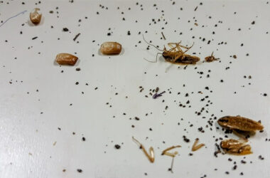 Dead roaches next to some cockroach droppings