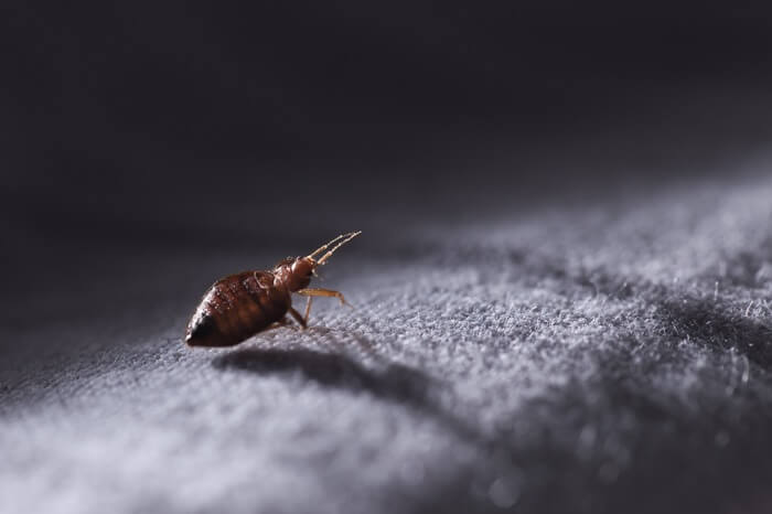 One full size bed bug walking on furniture