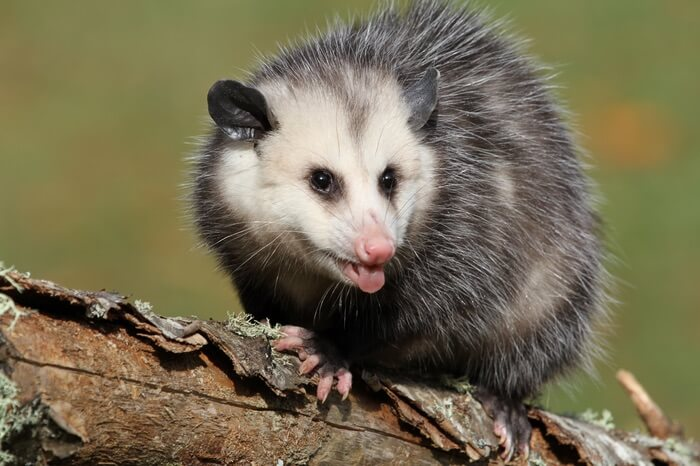 Opossum looking for cockroaches to eat