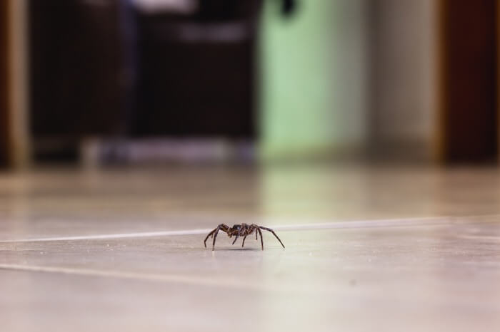 Spider leaving a home after coming across peppermint oil