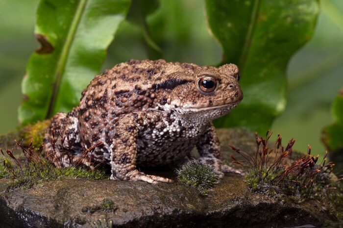 A toad digesting after eating a roach