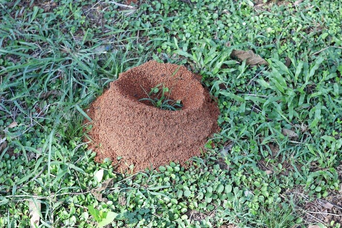 An ant hill in the grass