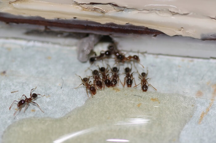 Ants eating bait near the sink