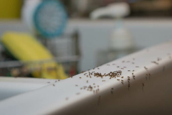 Ants crawling around in the kitchen sink
