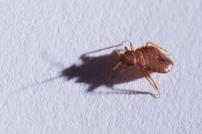 Bed bug walking on paper inside a book