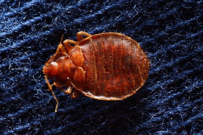 Close up photo of a bed bug inside the carpet