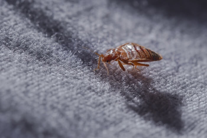 A bed bug in the carpet
