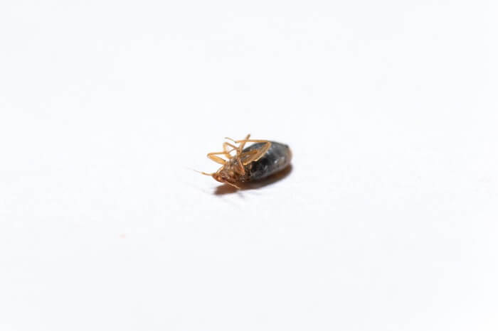 One bed bug after being killed by borax