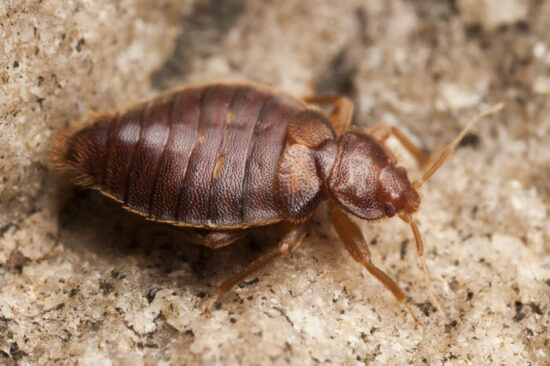A bed bug living without food