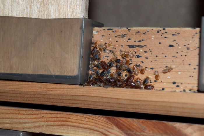Picture of a small bed bug nest