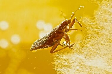 A bed bug surviving in water