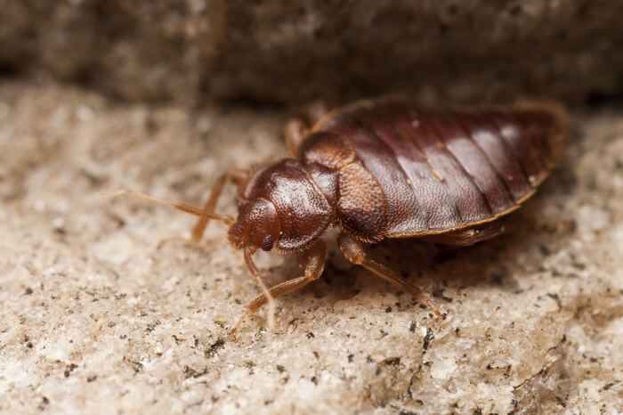 One bed bug crawling around under the carpet