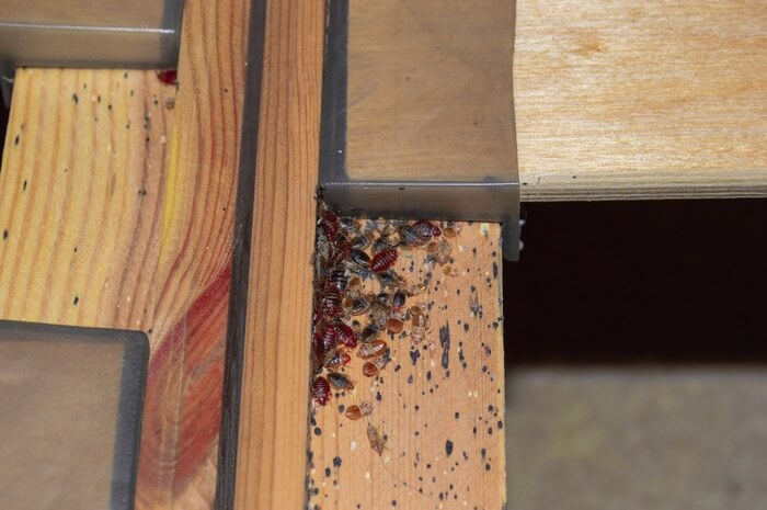 A large number of bed bugs hiding in wood furniture