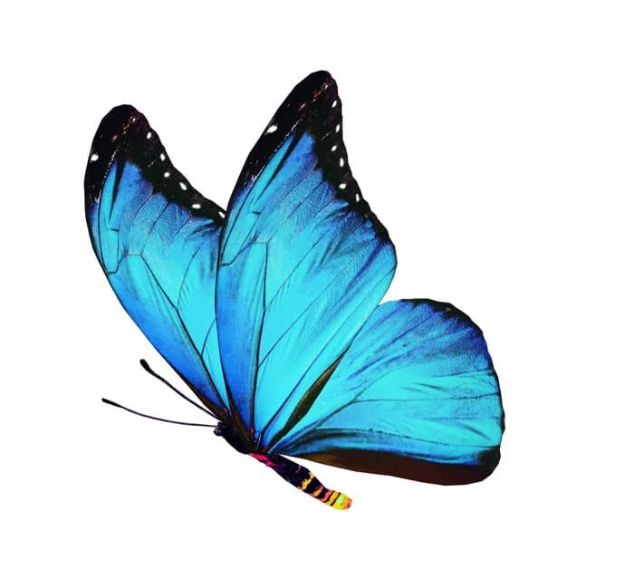 One blue butterfly insect that eats ants
