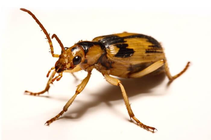 A bombardier beetle walking