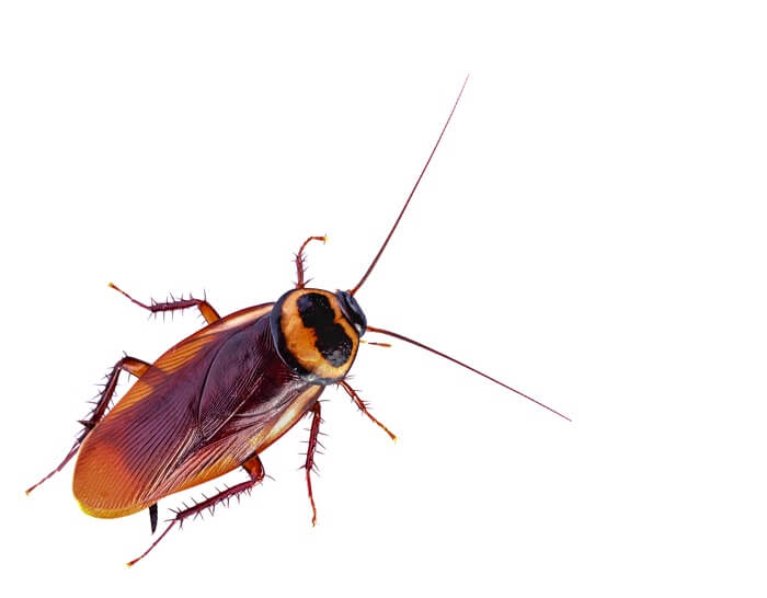 An adult cockroach will all of its legs