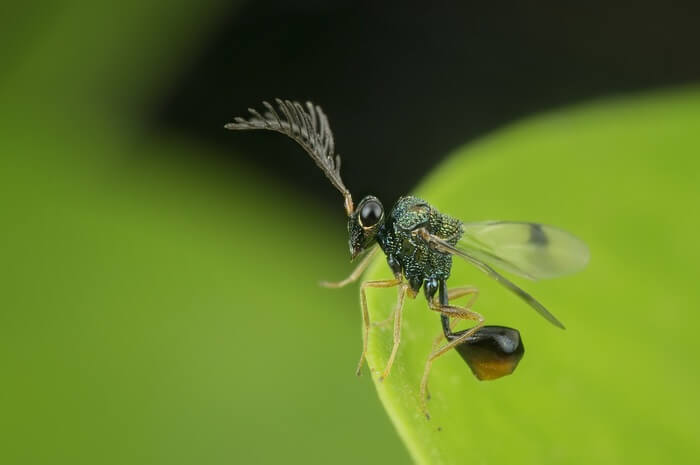 Eucharitid wasp after eating ants