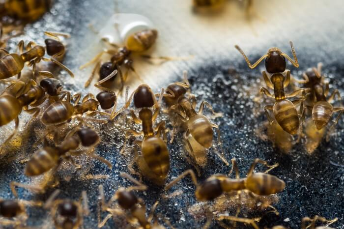 An infestation of grease ants