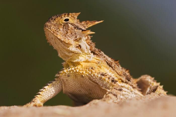 A basking male horned lizard