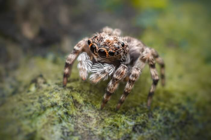 An ant natural predator named the jumping spider