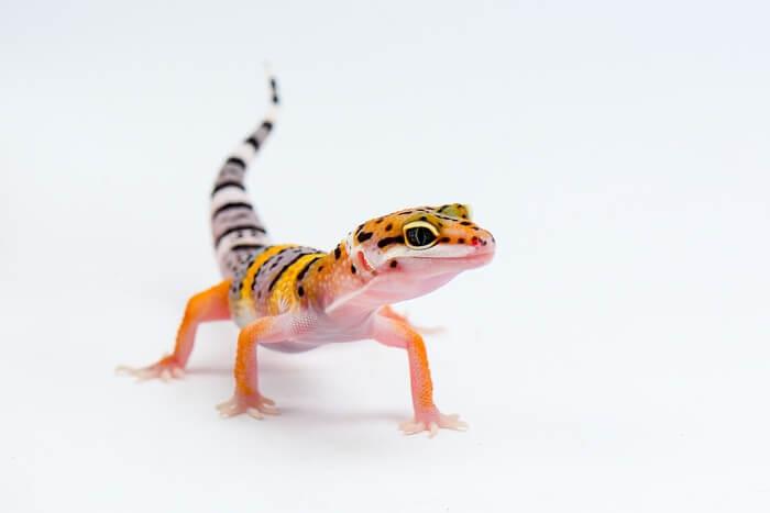 Leopard gecko after a meal