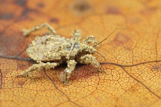 The masked hunter bed bug predator
