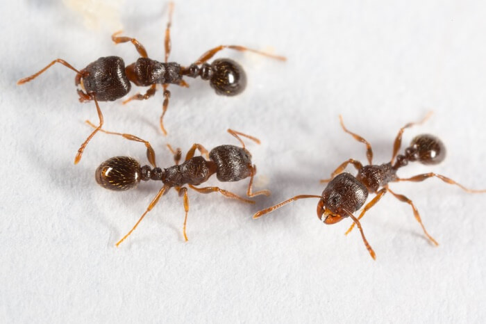 A group of pavement ants