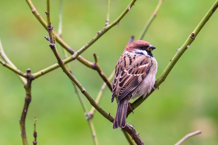 A sparrow looking for ants to eat