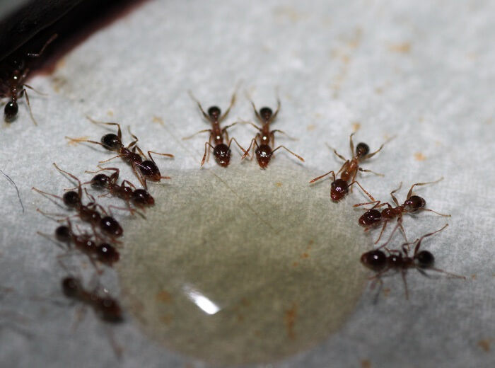 Getting rid of sugar ants with bait