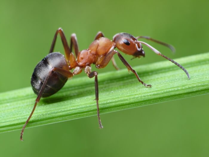 A bad type of ant in the lawn