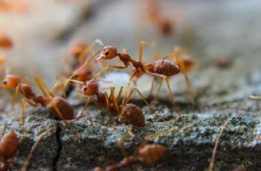 Ants carrying disease