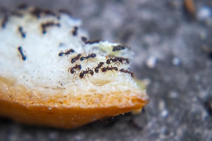 Ants contaminating food