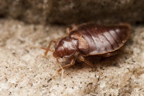 A bed bug being unaffected by salt