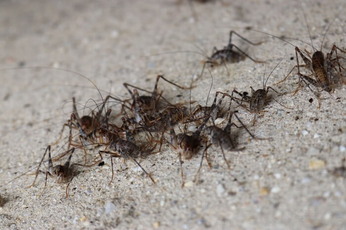 An infestation of camel crickets