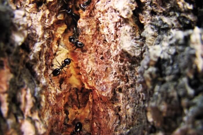 A carpenter ant infestation inside a tree