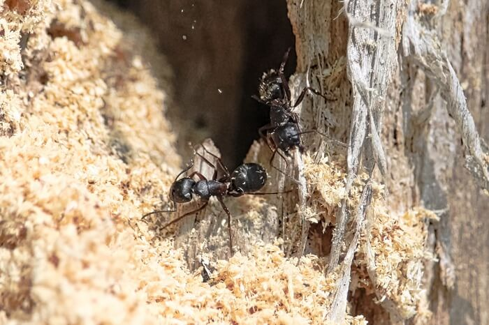Carpenter ants in a tree