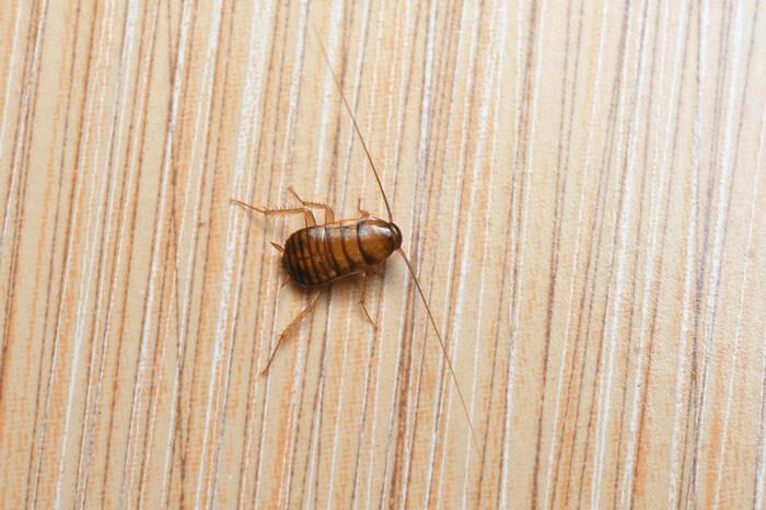 A tiny cockroach nymph