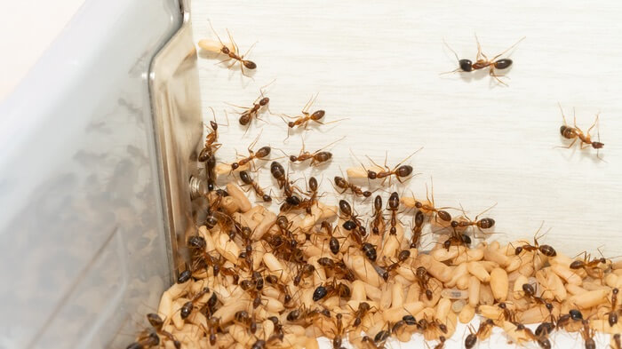 An infestation of crazy ants in a kitchen