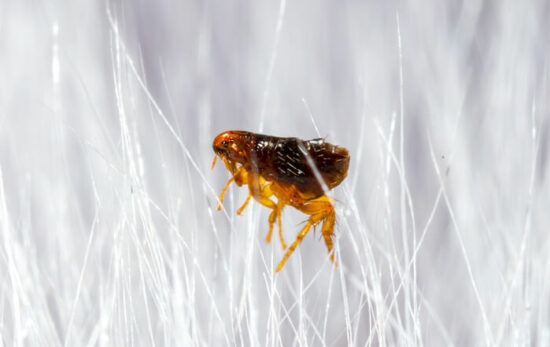 A flea after getting hit with bug spray