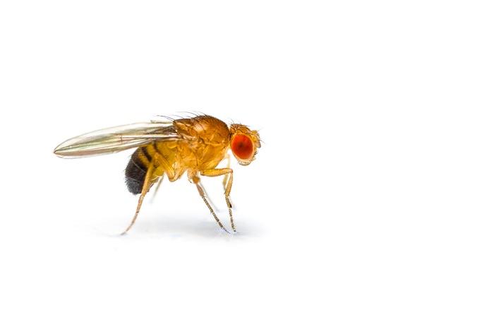 A walking fruit fly