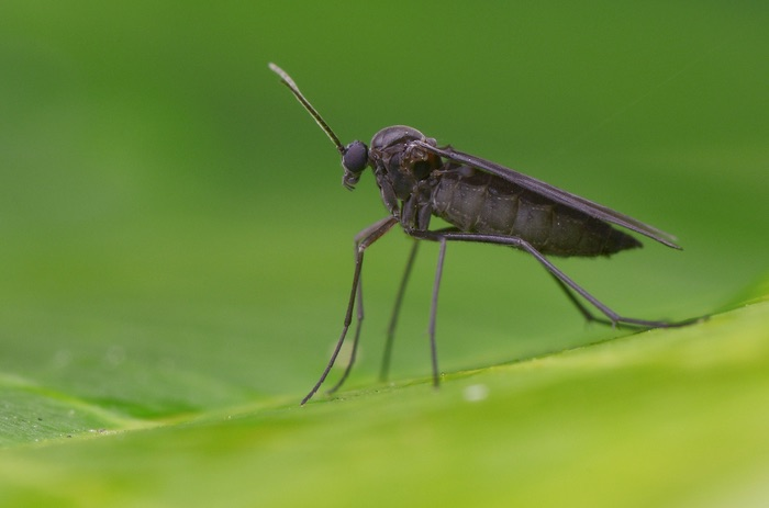 A tiny black bug called a gnat